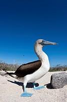 Blue-footed Booby, Sula nebouxii, North Seymour, Galapagos, Ecuador.