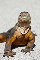 Galapagos Land Iguana, Conolophus subcristatus, North Seymour, Galapagos, Ecuador.
