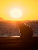 Alaska Arctic Polar Bear Sunset.