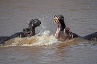 Two hippos (Hippopotamus amphibious) fighting in the Mara River in the Masai Mara National Reserve in Kenya.