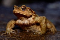 "Common toad """"Bufo bufo"""" in Kravica falls, near Ljubuski, Bosnia and Herzegovina."