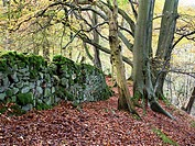 Old Mossy Wall and Autumn Trees in Skrikes Wood near Pateley Bridge North Yorkshire England.