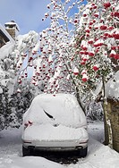 A snow covered car, under a blossom Holly. In the tourist town of O Cebreiro, in the mountains of Lugo