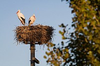 White stork (Ciconia ciconia) pair at nest on artificial nesting platform. Ivars Lake. Lleida province. Catalonia. Spain.