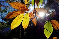 Winkworth Arboretum. National Trust. Godalming. Surrey. England.