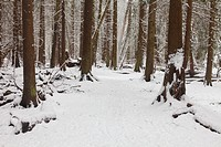 Trail through a temperate rain forest in winter with fresh snow.