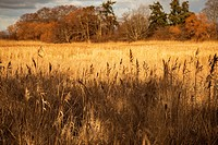 Canada, BC, Delta. Tall grasses in the Fraser River estuary. Viewed from the Reifel Bird Sanctuary on Westham Island.
