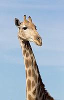 Giraffe (Giraffa giraffa giraffa), Kgalagadi Transfrontier Park, Kalahari desert, South Africa/Botswana.