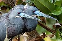 Tri-colored Herons breeding pair - Wakodahatchee Wetlands, Delray Beach, Florida, USA.