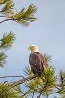 A majestic American Bald Eagle is perched on a tree branch in Coeur d'Alene, Idaho.