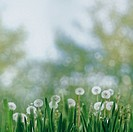 Seasonal landscape with dandelion flowers and beauty spring foliage.