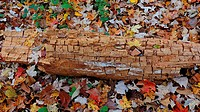 An ancient log rests among autumn leaves, Pennsylvania, USA.