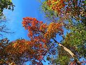 Autumn trees tilt into the sky, Pennsylvania, USA.