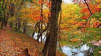 Colorful autumn trees hang over a stream, Pennsylvania, USA.