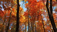 Fall color has reached its peak in this Pennsylvania forest, USA.