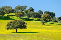 Dehesa (wooded meadow typical of southern Spain) in the spring.Badajoz province.Extremadura.Spain