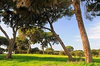Pine forest.Pinus pinea.Badajoz province.Extremadura.Spain