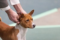 Seattle, Washington: A Portuguese Podengo Pequeno in the ring at the 2017 Seattle Kennel Club Dog Show. Approximately 160 different breeds participate...