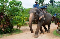 Elephant riding in rubber tree forest. Krabi. Thailand, Asia. Krabi Nature Elephant Trekking & River Camp. The elephant camp is just a 7 km. car ride ...