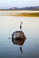 Yellow-Billed Stork (Mycteria ibis) Lake Ziway, Ethiopia.