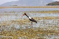 A Saddle-Billed Stork (Ephippiorhynchus Senegalensis), Lake Ziway, Ethiopia.