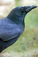 Black crow (Corvus corone corone) in the region of Los Serranos. Valencia.