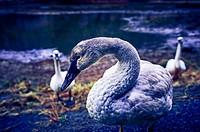 One of several trumpeter swans, Cygnus buccinato, wintering in Starrigavan Recreation Area near Sitka, Alaska, USA.