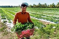 Florida, Homestead, Redland, Robert Is Here, farm stand, field, agriculture, flat leaf parsley, basket, Hispanic, man, picker, farmworker, harvest,