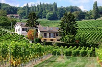 Europe, Switzerland, Canton Vaud, La Côte, Morges district, Aubonne, living in heart of vineyards, Autumn time