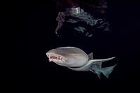 Tawny nurse shark - Nebrius ferrugineus swims in the night, Indian Ocean, Maldive.