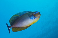 Bignose Unicornfish, Naso vlamingii, South Male Atoll, Maldives.