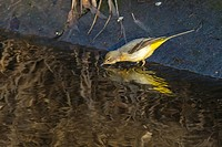 Germany, Saarland, Homburg - A grey wagtail is searching for fodder on the riverside.