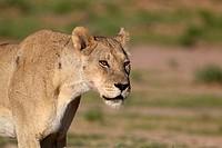 African lion (Panthera leo) - Female, Kgalagadi Transfrontier Park, Kalahari desert, South Africa/Botswana.