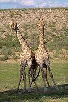Giraffe (Giraffa giraffa giraffa) - Males, fighting, Kgalagadi Transfrontier Park, Kalahari desert, South Africa/Botswana.