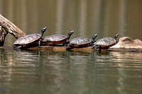 "northern red-bellied turtles (Pseudemys rubriventris), Maryland, basking, IUCN redlist """"near threatened"""" species, also known as red-bellied cooter"
