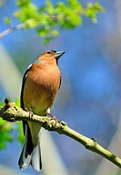 Male Chaffinch (Fringilla coelebs) perched in a tree.