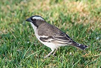 White-browed sparrow weaver (Plocepasser mahali). Namib Desert. Namib-Naukluft Park. Namibia