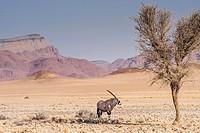Oryx. Gemsbok. (Oryx gazella). Namib Desert. Namib-Naukluft Park. Namibia