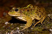 Common frog (Pelophylax perezi) in the edge of a pond in Bustarviejo, Madrid, Spain.