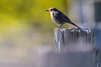 Germany, Saarland, Homburg - A black redtail is sitting on a post.