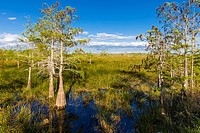 Dwarf Cypress trees in grasslands at the Pa-hay-okee Overlook in Everglades National Park Florida.