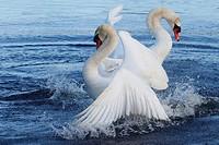 Mute Swan Horborgarsjon Vastergotland Sweden