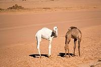 Jordan. Aqaba. Wadi Rum. Disah. Young camels