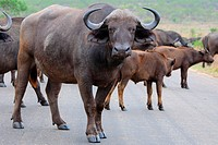 African buffaloes or Cape buffaloes (Syncerus caffer), herd crossing a paved road, Kruger National Park, South Africa, Africa.