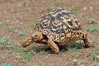 Leopard tortoise (Stigmochelys pardalis), moving, Kruger National Park, South Africa, Africa.