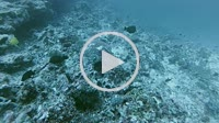 Hawksbill sea turtle, Eretmochelys imbricata eats coral - Indian Ocean, Maldives