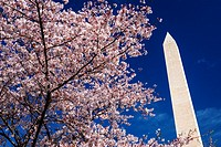 Cherry blossoms under the Washington Monument, Washington, DC USA.