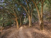 Pathway through a grove of old cork ttrees. Cape Town, South Africa.