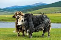 Two Yaks (Bos mutus) with long shaggy hair, Orkhon Valley, Khangai Nuruu National Park, Oevoerkhangai Aimag, Mongolia.