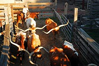 A Cowgirl leads Longhorn Bulls enter their pens.